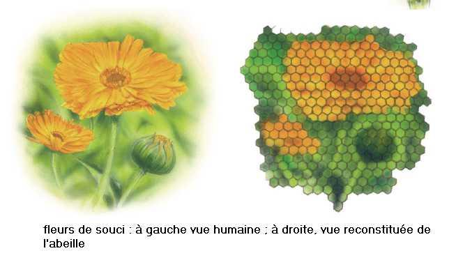 Intra science comment les abeilles voient elles - Comment se debarrasser des abeilles dans une cheminee ...