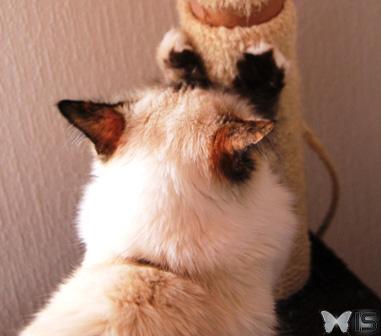 intra-science - pourquoi les chats se font-ils les griffes ?