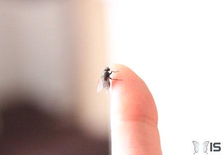 Intra science pourquoi est il difficile d 39 attraper une mouche - Pourquoi les mouches piquent ...