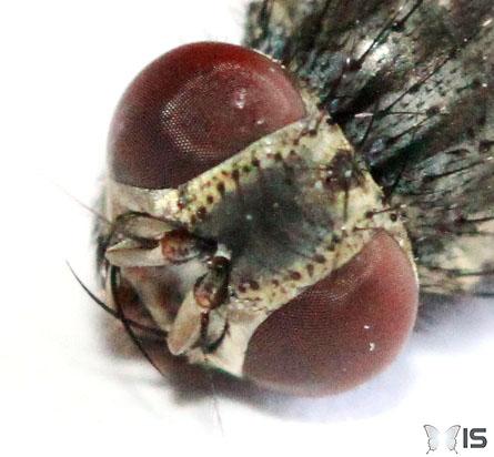Intra science pourquoi est il difficile d 39 attraper une - Invasion de mouches pourquoi ...