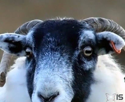 Yeux d'un mouton Scottish Blackface